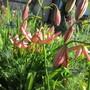 Lilium Fairy Morning (Lilium martagon hybrid)