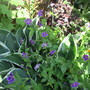Geranium Blueberry Ice (Geranium nodosum (Hardy geranium))