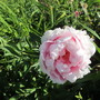 Herbaceous Paeony (Paeonia)