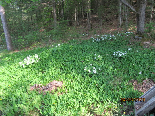 Trilliums and Lily of the Valley spring 2020