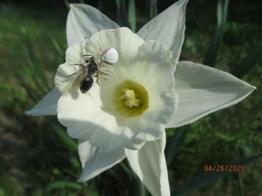 Mt. Hood Daffodil