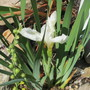Iris setosa (Iris setosa (Beachhead Iris))