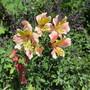 Alstroemeria Selina (For My File) (Alstroemeria)