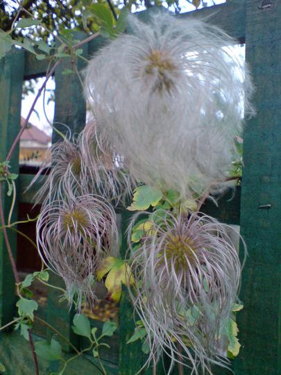 seedpod clematis (Clematis tangutica)