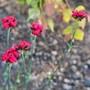 Dianthus ferrugineus - A New Plant For My Garden