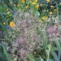 Allium christophii (Allium christophii (Persian Onion))