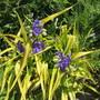 Tradescantia Sweet Kate (Trdecantia x andersoniana)