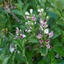 Weigela florida 'Versicolor' - 2020 (Weigela florida)
