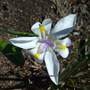 Moreia -lighting up winter (Dietes grandiflora (Wild Iris))