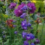 Rhapsody in Blue with Penstemon...