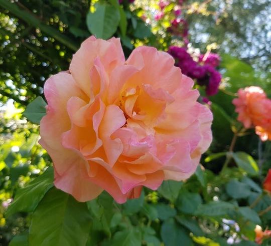 Rosa Westerland... (Rosa Westerland.)