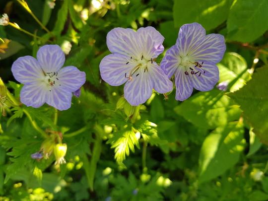 Hardy Geranium Mrs Kendall Clark.. (hardy geranium)