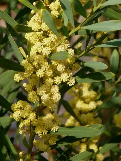 Acacia retinoids  close up of panicles