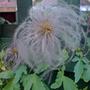 seed head clematis tangutica (Clematis tangutica)