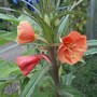Orange evening primrose.
