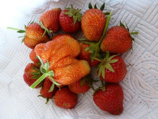 Strawberries Elsanta