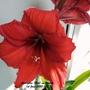 Amaryllis Red on balcony 1st June 2020 002 (Amaryllis Hippeastrum)