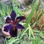 Iris Blackgamecock (Iris louisiana)