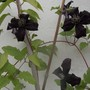 Clematis - very dark