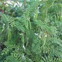 Clianthus puniceus