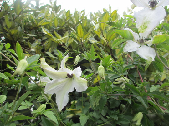 Clematis viticella Alba (Clematis viticella (Viticella Group clematis))