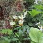 Lilium martagon Alba (Lilium martagon Alba)