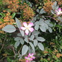 Rosa glauca (Shrub rose)