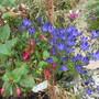 Triteleia with Fuchsia (Titeleia)