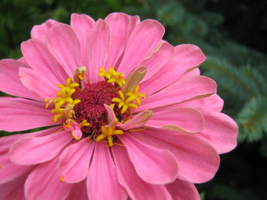 Pink Zinnia (Zinnia)