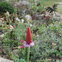 My Scree Garden. (Primula viallii)