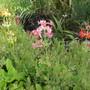 Candelabra Primulas (Oenathea japonica)