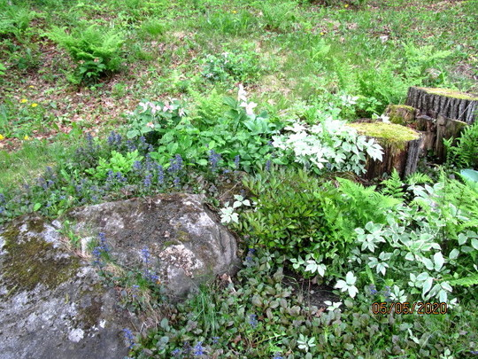 ferns rocks and ajuga
