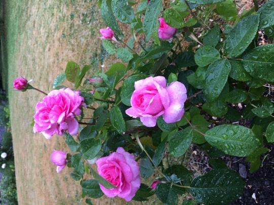 Gertrude Jekyll rose.