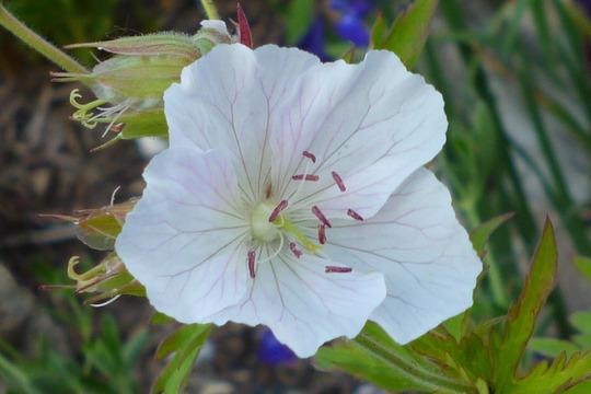 Geranium ex Purple Haze (Geranium)