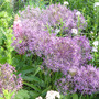Allium cristophii (Allium cristophii (Ornamental onion))