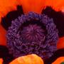 poppy anthers and stigma (Papaver orientalis 'Allegro')
