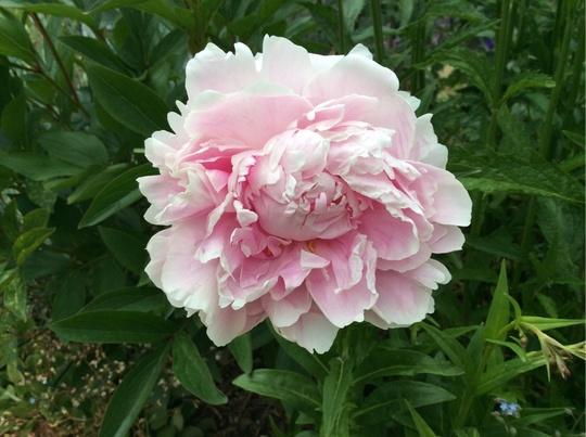 Paeony 'Sarah Bernhardt'