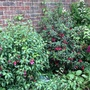 Fuchsias in narrow bed by shady side of house.