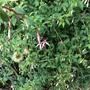 Fuchsia 'Lady Bacon'