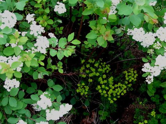 the other euphorbia (euphorbia spirea)