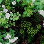 the other euphorbia (euphorbia spirea)