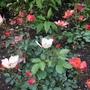 A new bush rose.
