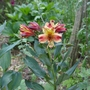 Alstroemeria_indian_summer_2020