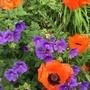 Hardy geranium Sabani Blue and Opium poppy. (Papaver somniferum (Opium poppy))