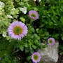 "Erigeron ""Sea Breeze"" (Erigeron glaucus (Beach Aster))"