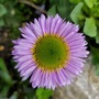 "Erigeron ""Sea Breeze"". (Erigeron glaucus (Beach Aster))"