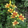 Unnamed Lily (Lilium)