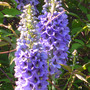 Delphinium_pacific_giant
