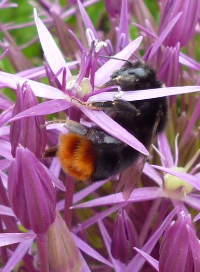 Allium and friend (Allium cristophii (Ornamental onion))