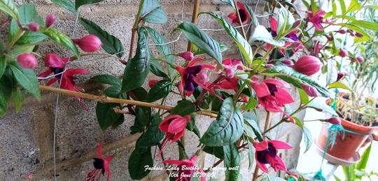 Fuchsia 'Lady Boothby' flowering on balcony wall 10th June 2020 001 (Fuchsia)